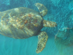 Lots of turtles off Kalama Park