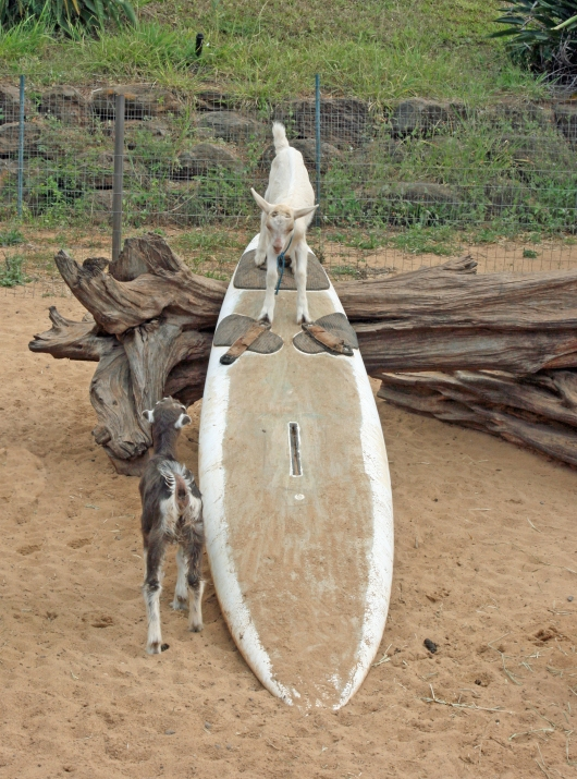 A surfing goat